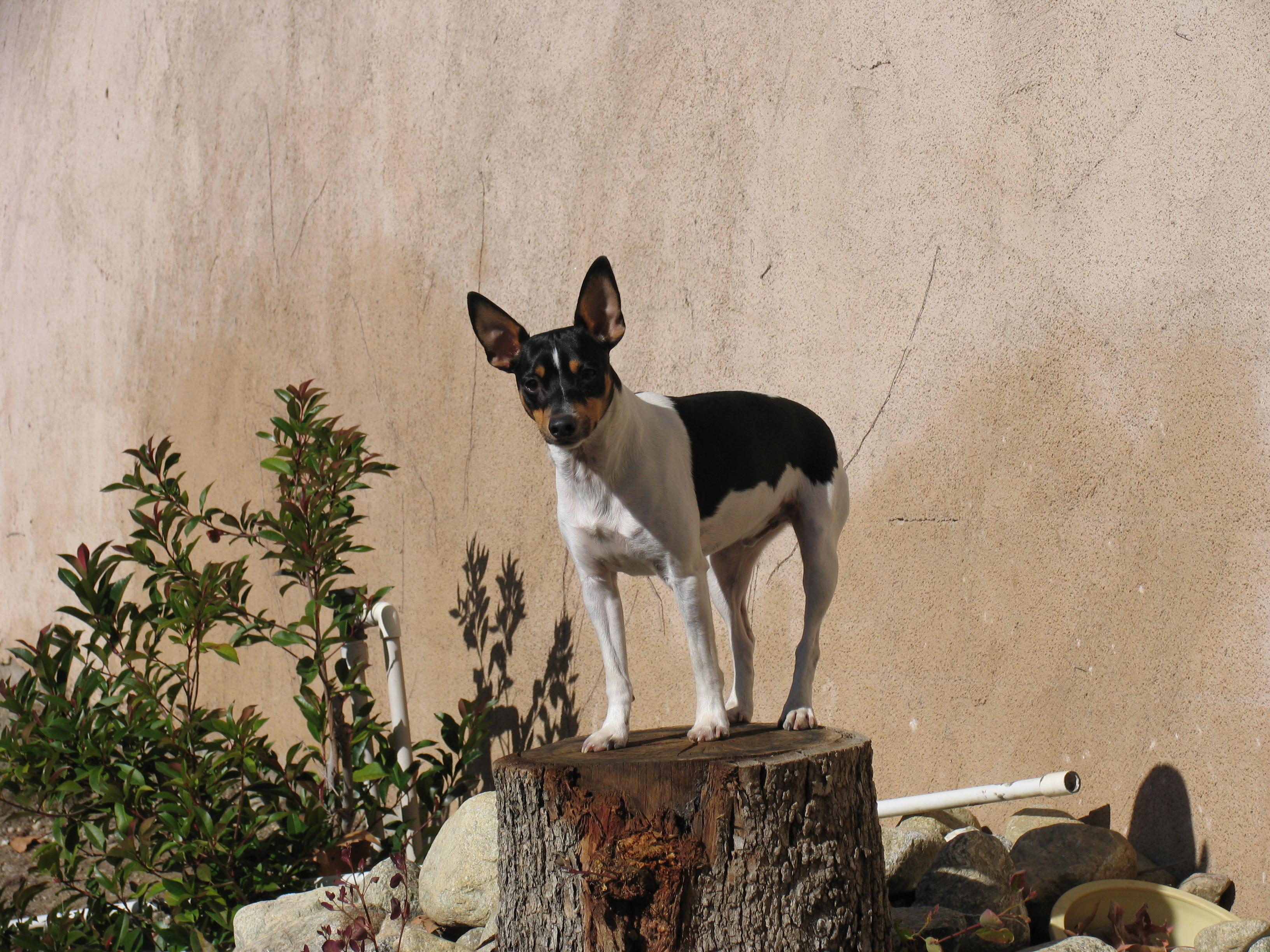 Rat Terrier Facts - Jenna Pope Writes
