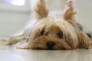 yorkshire-terrier-171701_640[1]