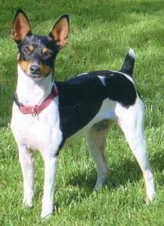 The Rat Terrier