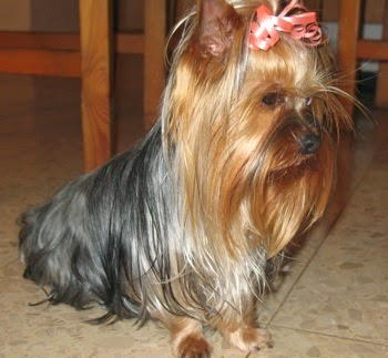The Irresistible Yorkie